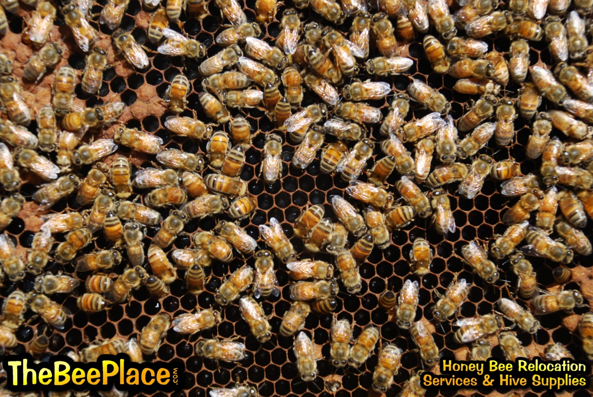 the background of the africanized honey bee What are honey bees honey bee origins, evolution & diversity – ashleigh milner articles honey bee origins, evolution & diversity – ashleigh milner.