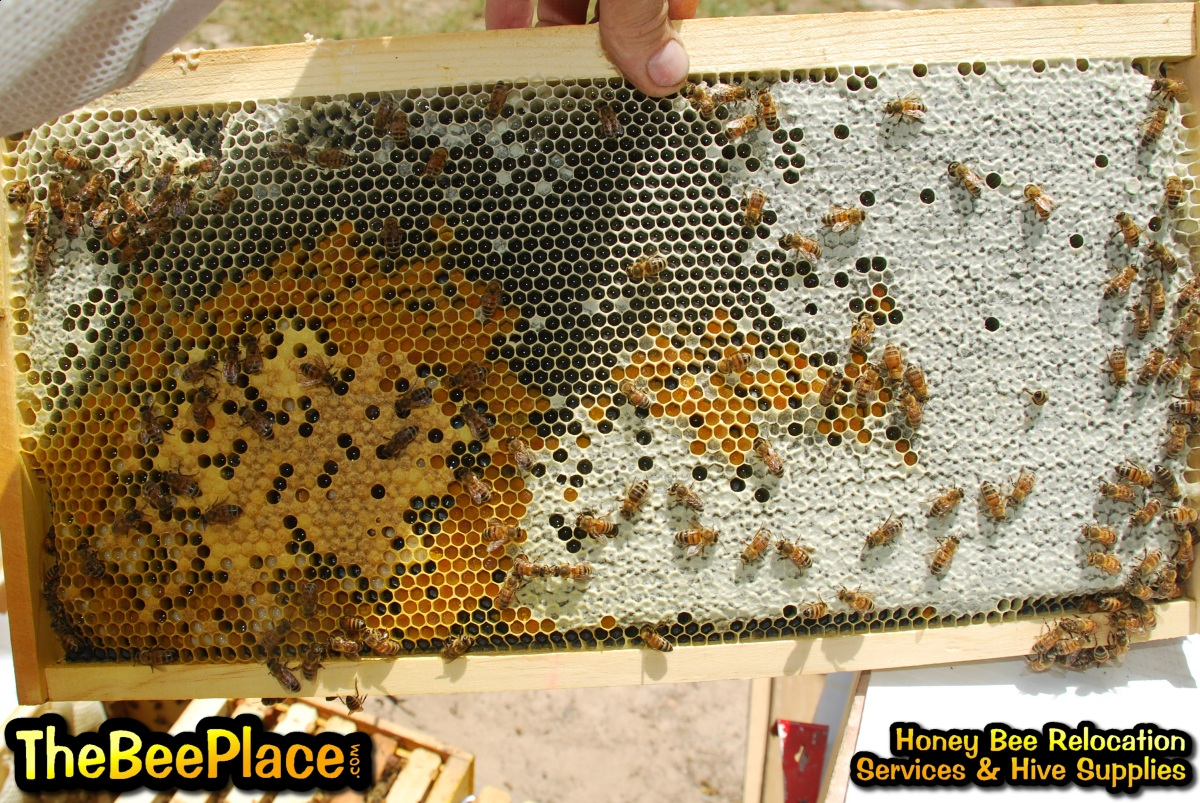 Honey Bee Educational Information & Resources